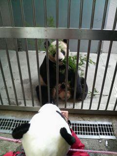 笹を夢中で食べるパンダ&そのパンダを一生懸命撮影中のパンダ帽の奥さ